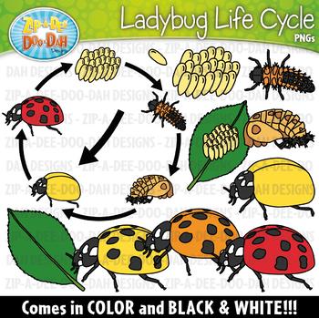 Realistic life zip a. Ladybug clipart cycle