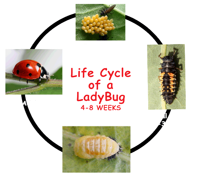 Kids growing strong a. Ladybugs clipart ladybug life cycle