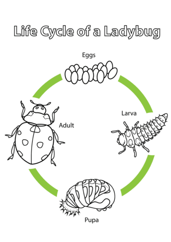 Life cycle of a. Ladybugs clipart lifecycle