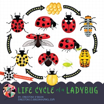 Worksheets teaching resources tpt. Ladybug clipart cycle
