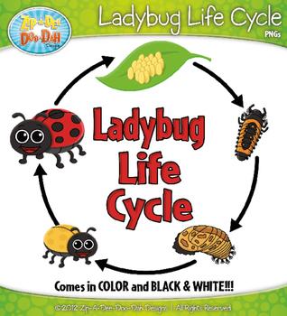 Ladybug life cycle zip. Ladybugs clipart pupa