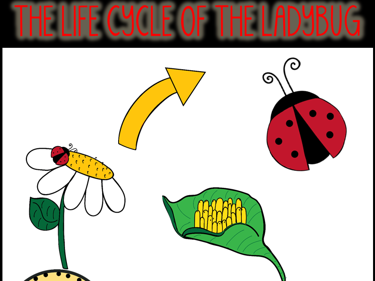 Ladybugs clipart lifecycle. The life cycle of