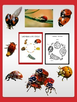 Ladybugs clipart cycle. Ladybug life sheets with