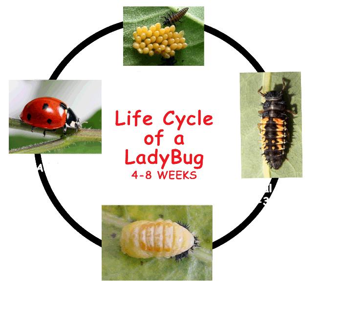 Ladybugs clipart cycle. Ladybug animals egg larva