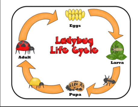 Ladybug clipart lifecycle. Life cycle stages of