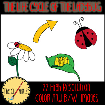 Ladybugs clipart cycle. The life of a