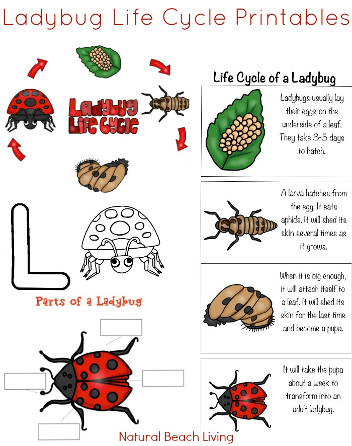 Activities free printables for. Ladybugs clipart ladybug life cycle