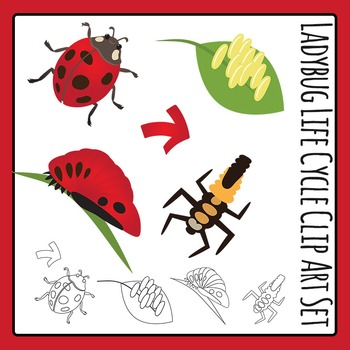 Ladybugs clipart lifecycle. Ladybug life cycle clip