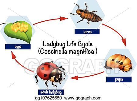 Eps illustration a ladybug. Ladybugs clipart cycle