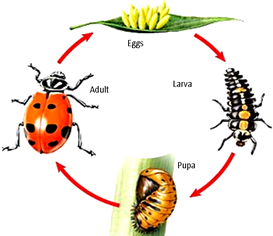 Ladybugs clipart ladybug life cycle. Northwest beneficials live praying
