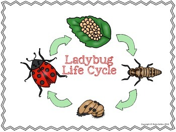 Ladybugs clipart ladybug life cycle. D of a science