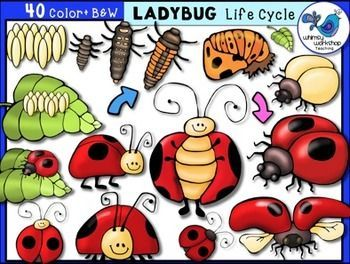 Ladybug life cycle clip. Ladybugs clipart lifecycle