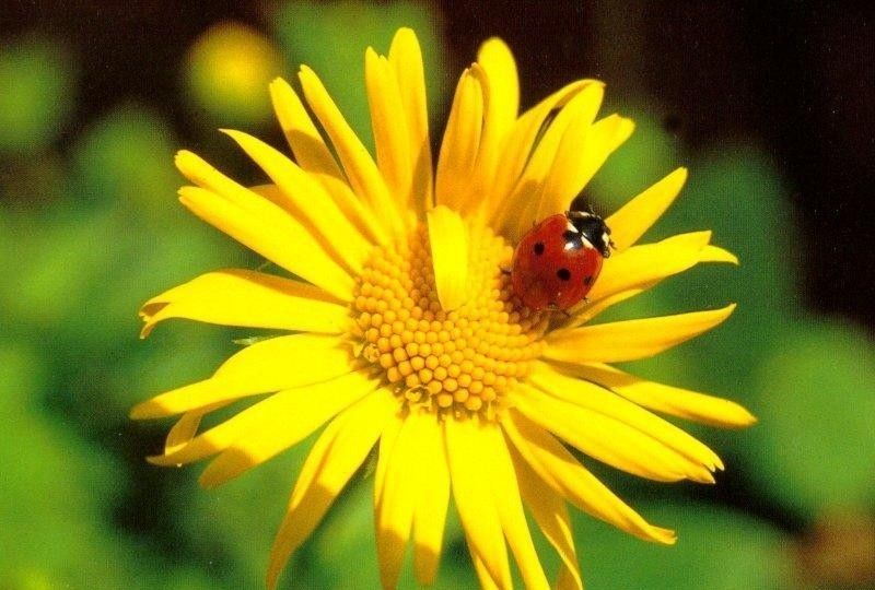 Results for free sunflowers. Ladybugs clipart sunflower