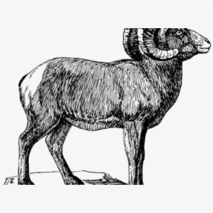 Ram bighorn black and. Lamb clipart big sheep