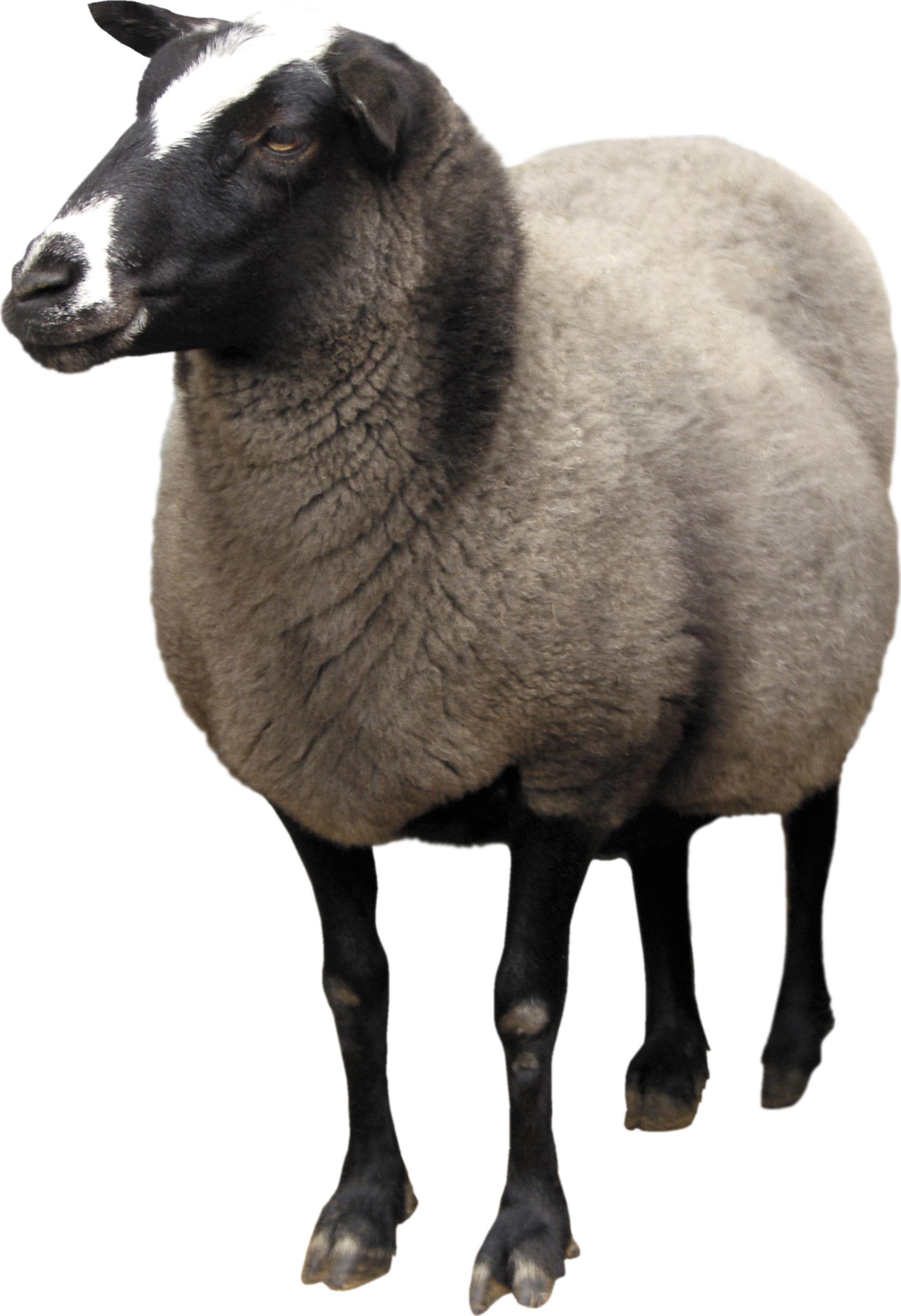 Lamb clipart fat sheep. Png animal pinterest