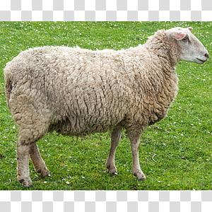 Lamb clipart female sheep. Herding pasture and mutton