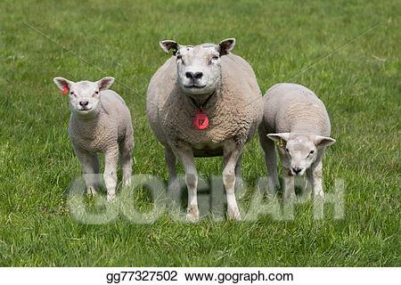 Drawing with young lambs. Lamb clipart many sheep