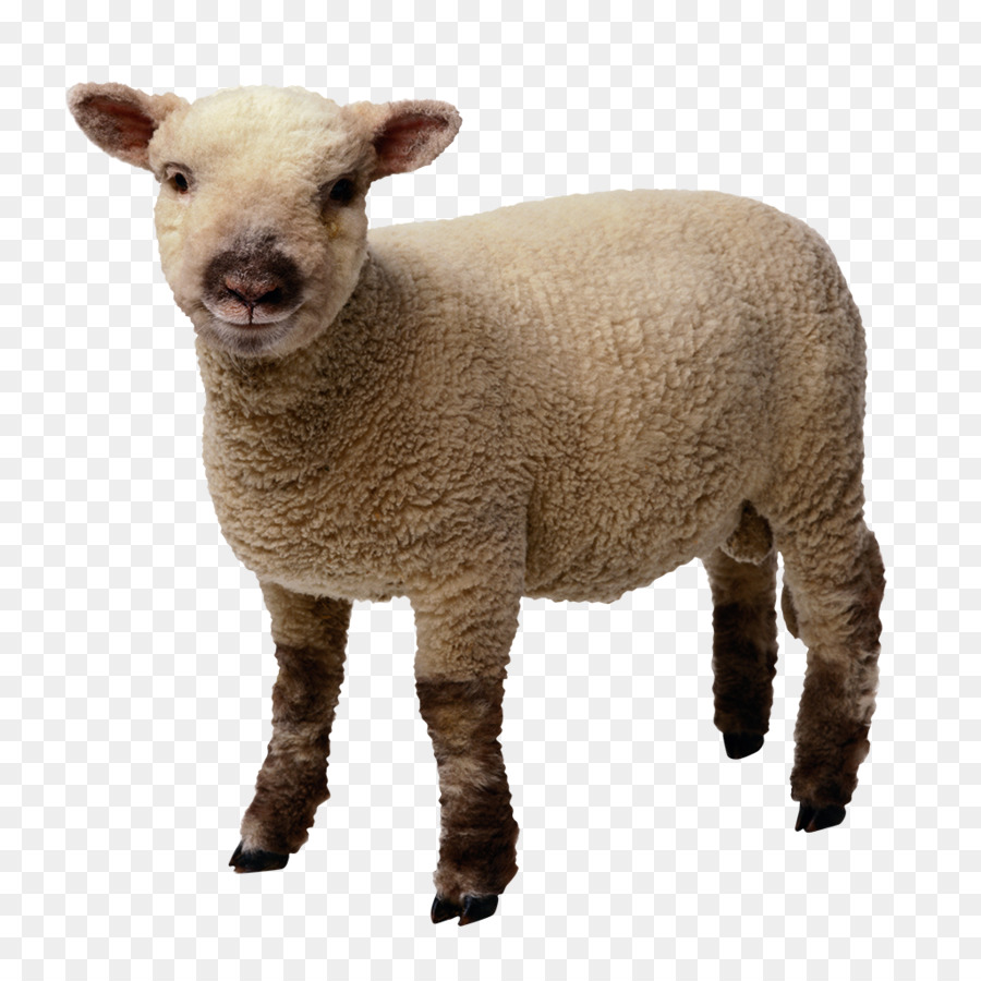 Cartoon transparent clip art. Lamb clipart merino sheep