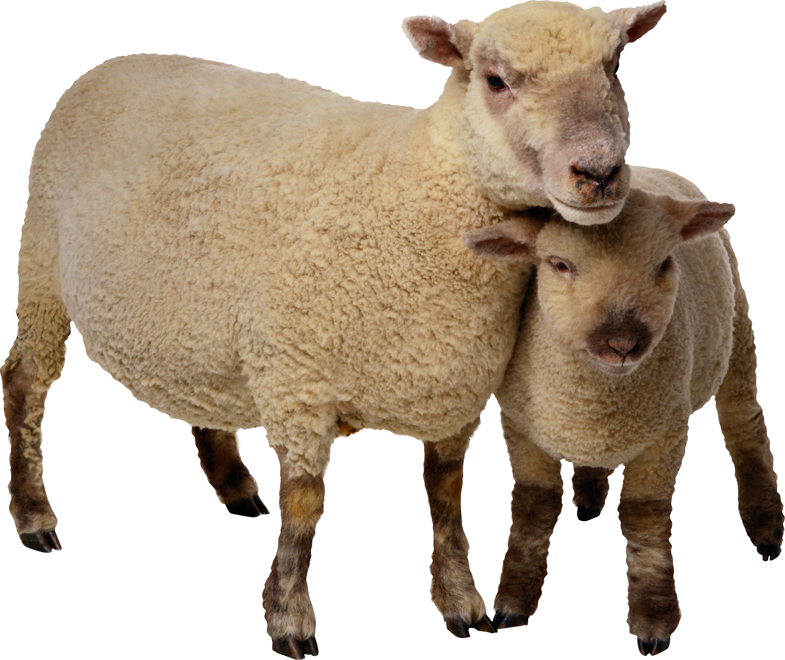 Lamb clipart mother. Baby sheep and isolated
