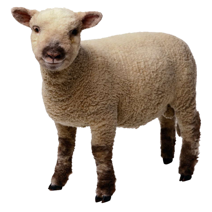 Lamb clipart realistic. Sheep and mutton clip