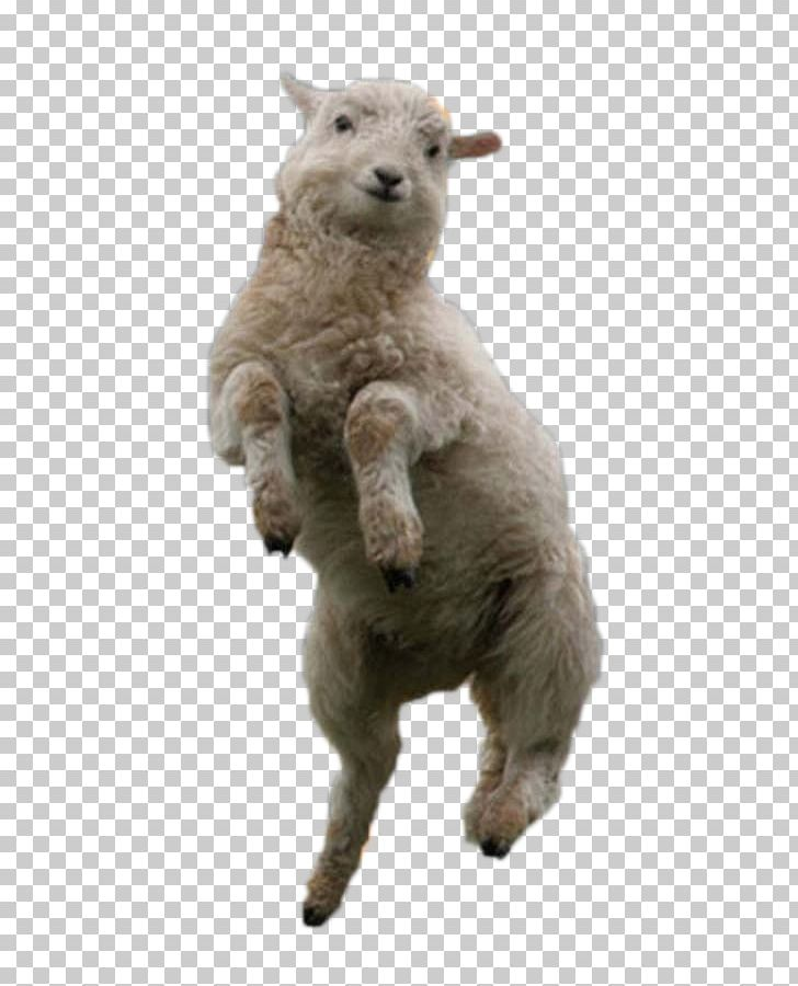 And mutton wool alpaca. Lamb clipart shearing sheep