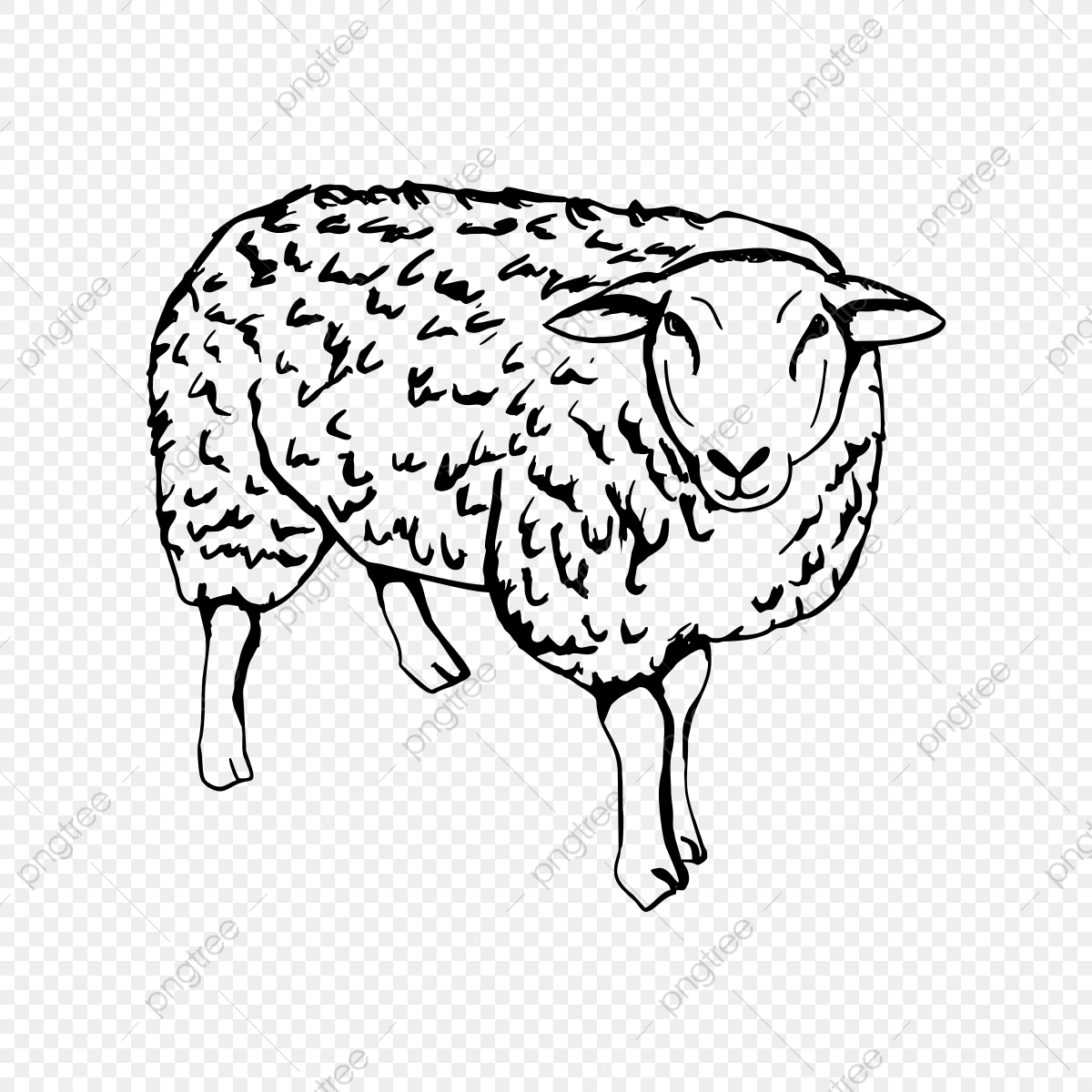 Hand drawn isolated illustration. Lamb clipart sheep drawing