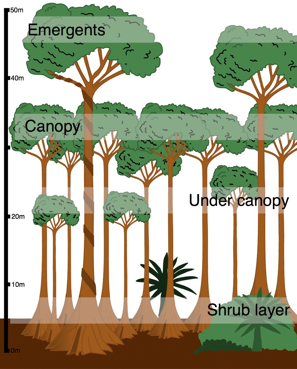 What is the structure. Rainforest clipart rainforest floor