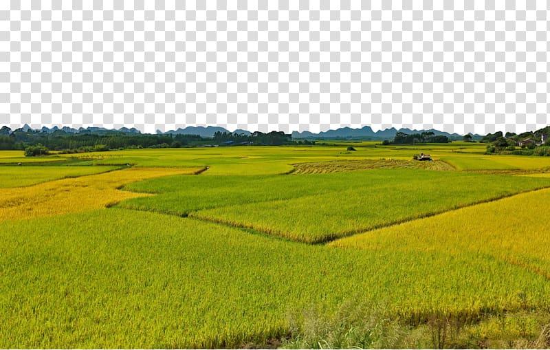 Gadu foxtail millet endless. Land clipart rice field