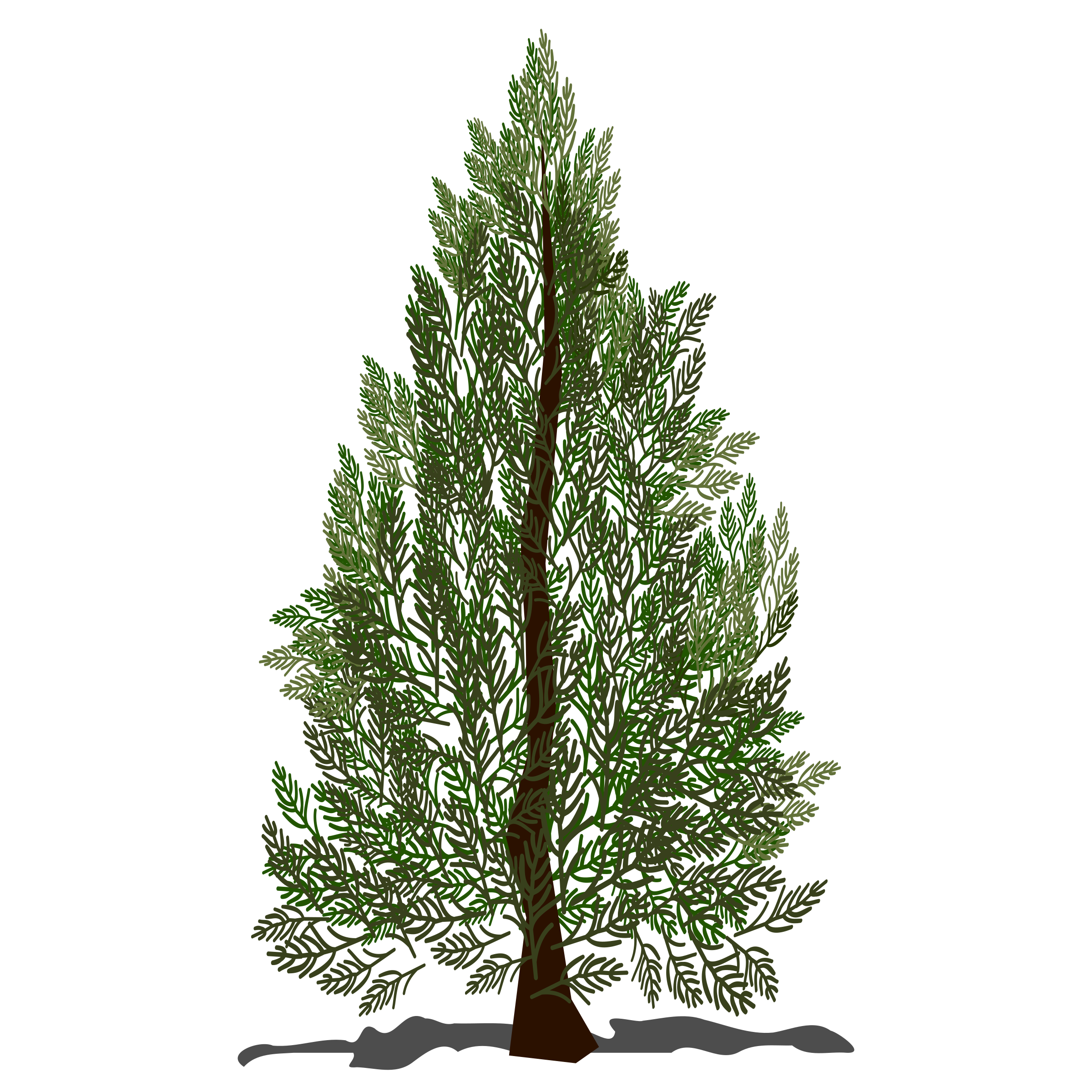 Pine big image png. Tree clipart evergreen