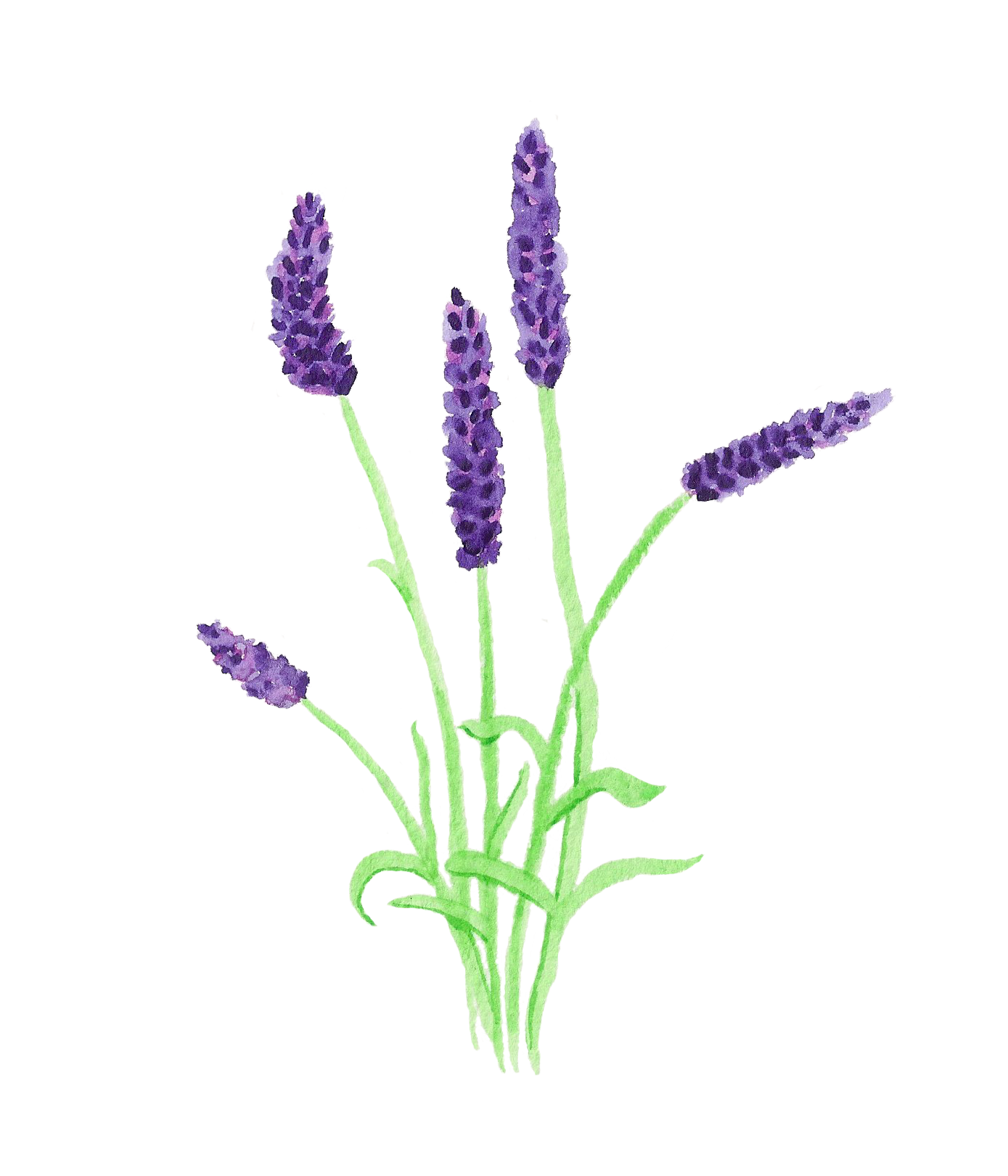 Lavender lavender field