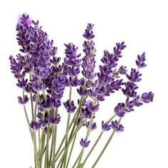Realistic bouquet drawn with. Lavender clipart