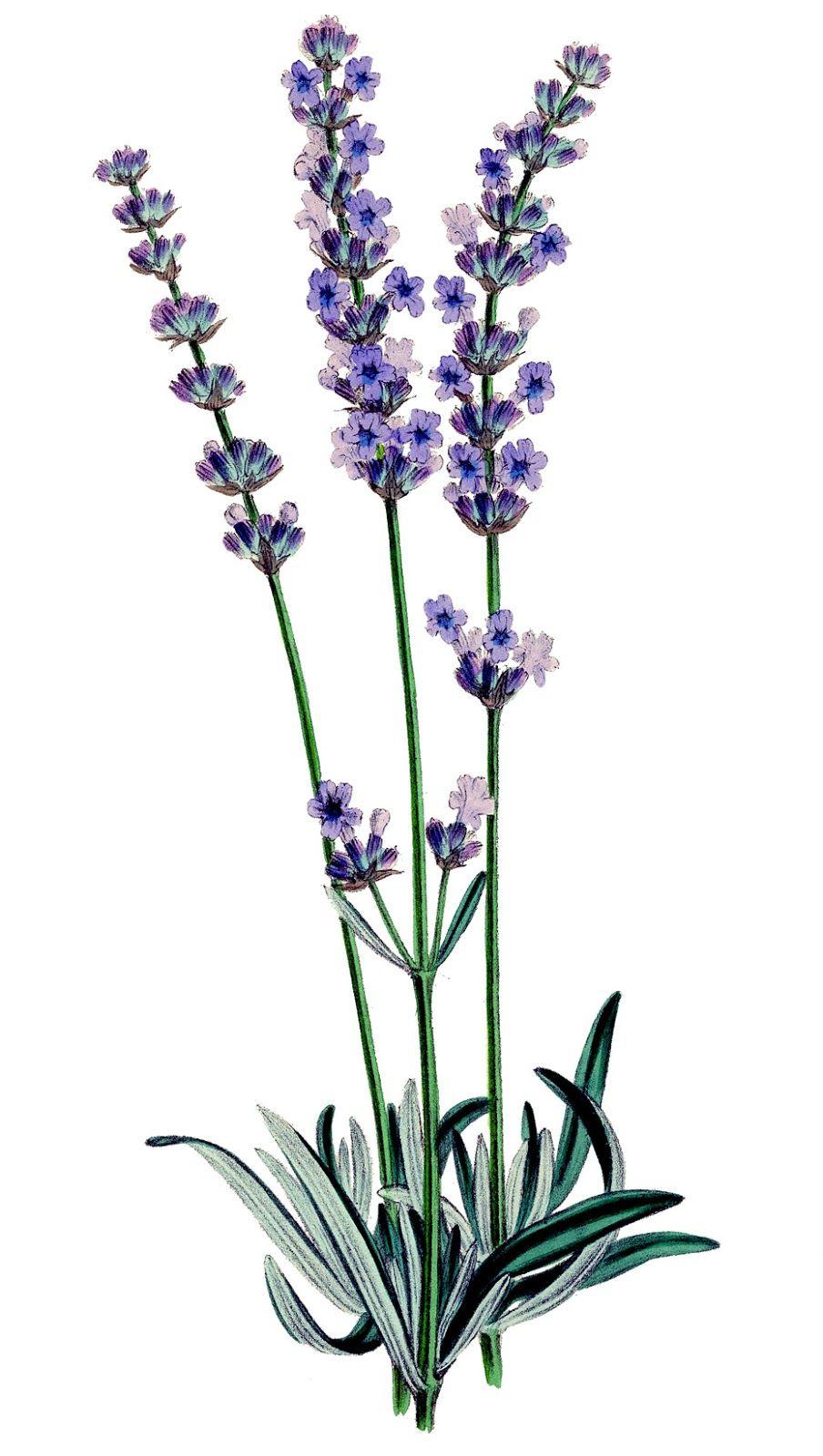 Vintage stock image plant. Lavender clipart