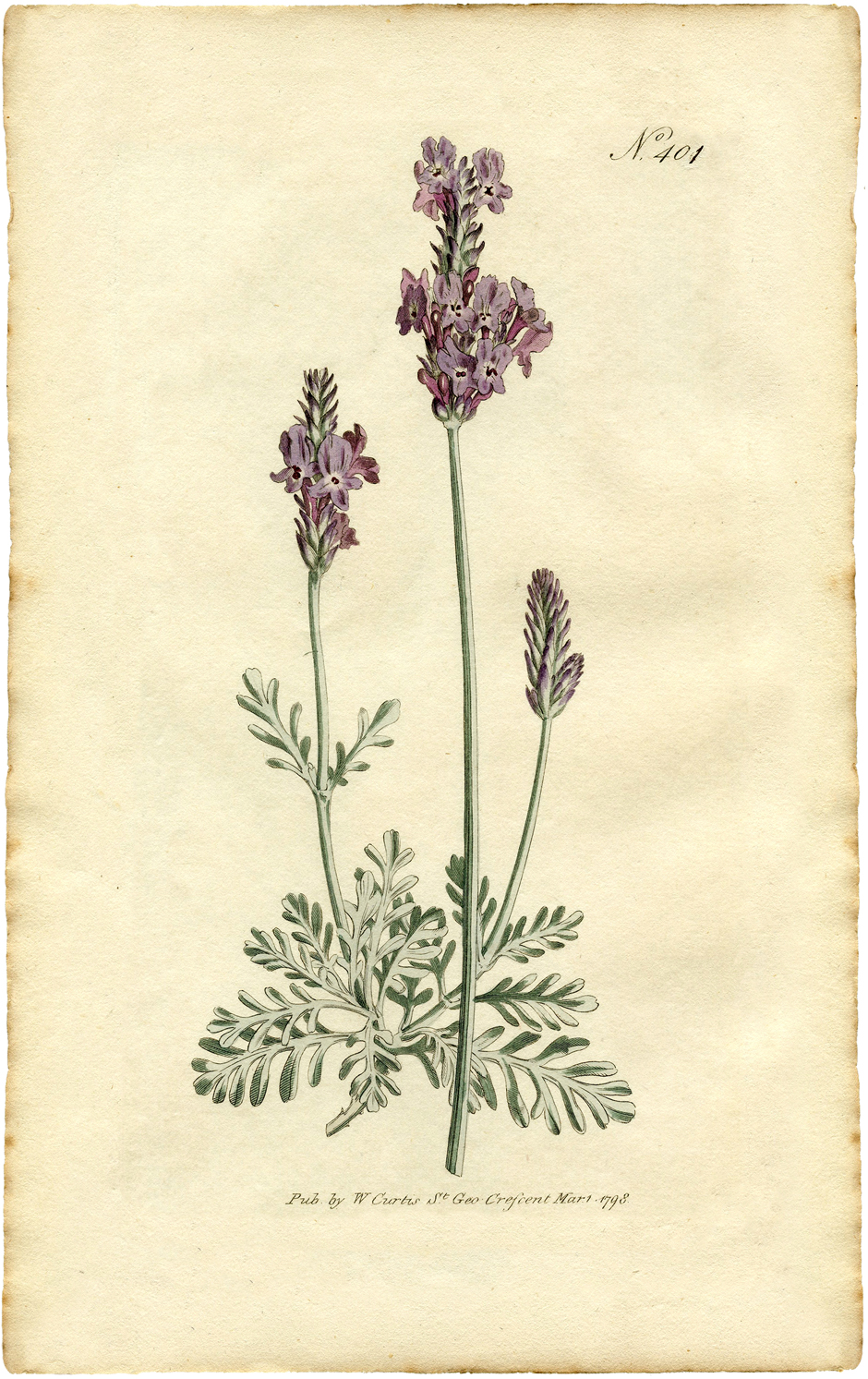 Lavender clipart botanical print. Free the graphics fairy
