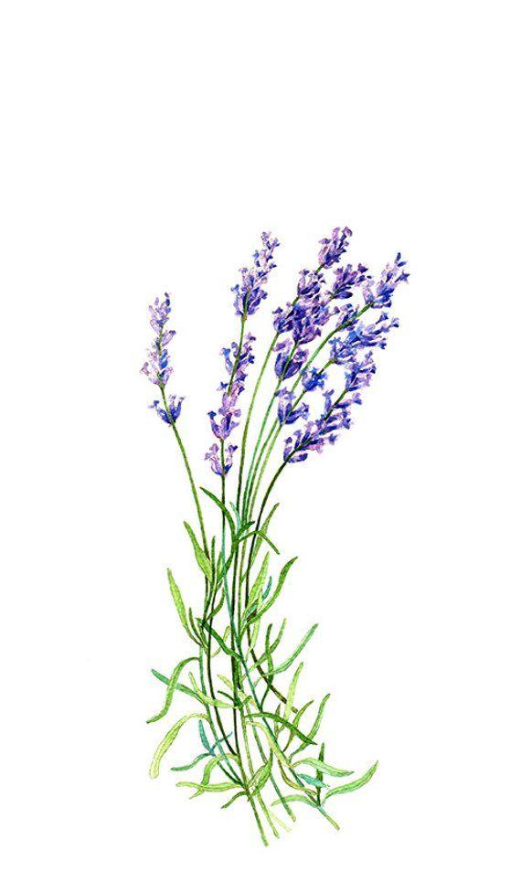 Illustration watercolor . Lavender clipart botanical print