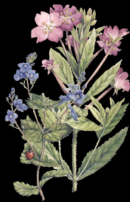 Tubes marjolein bastien bastin. Lavender clipart botanical print