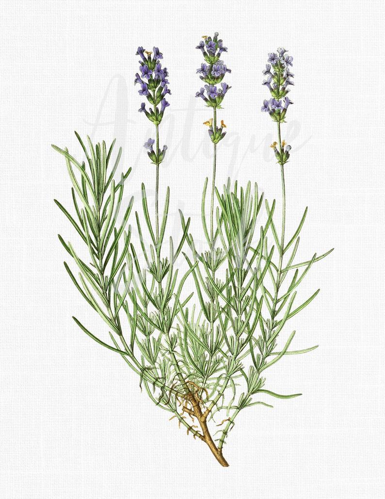 Download vintage printable image. Lavender clipart botanical print