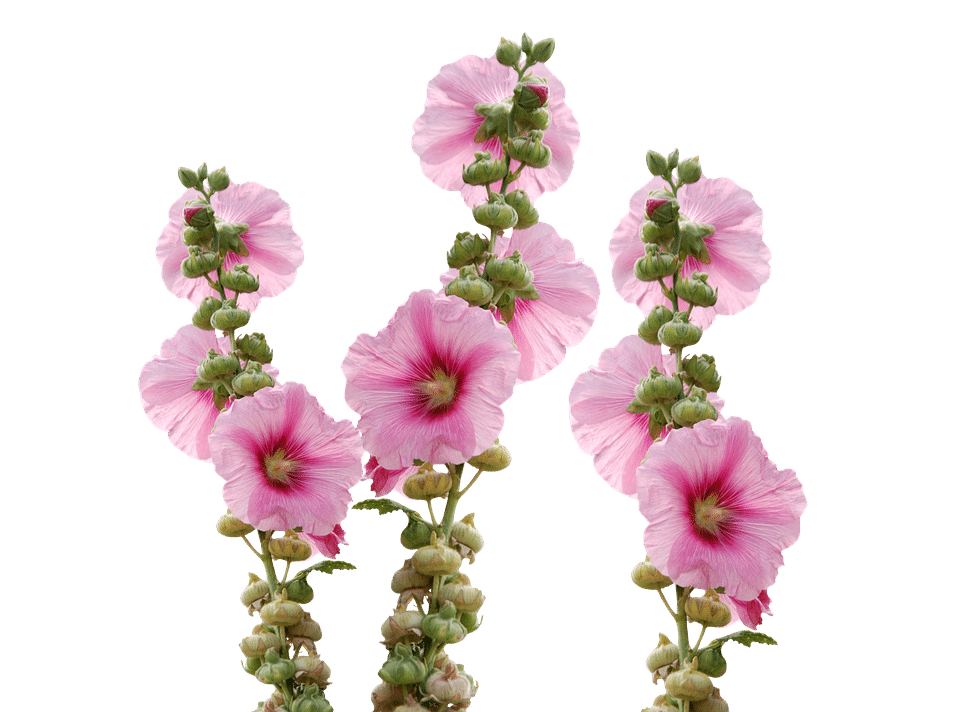 Planting clipart pink plant. Types of flowers flower