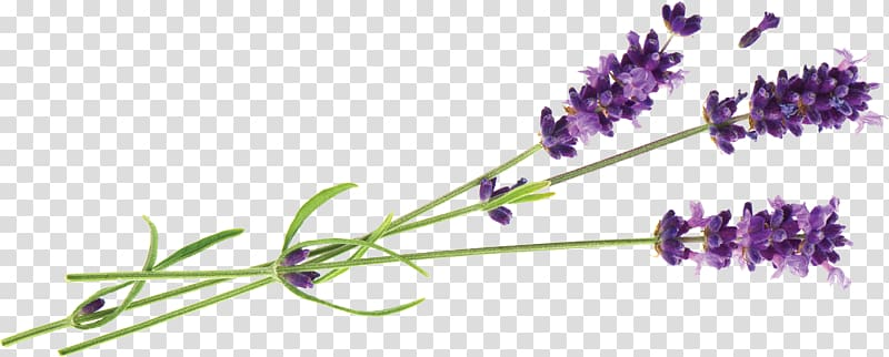 Lavender clipart lavander. Illustration hvar english oil