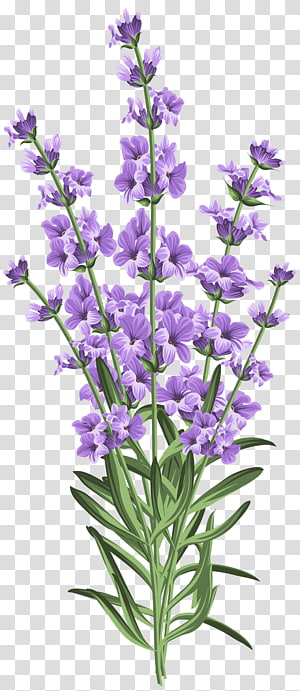 Purple lavenders english botanical. Lavender clipart lavander
