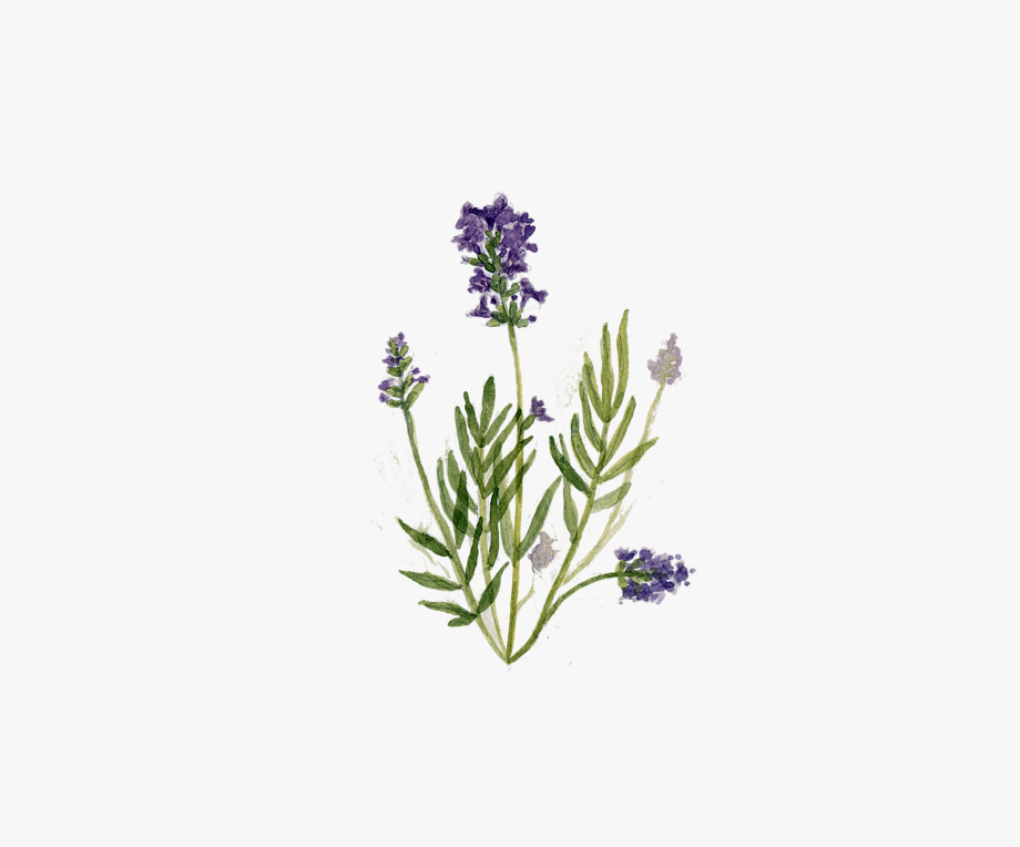 Drawing herb english cliparts. Lavender clipart lavendar
