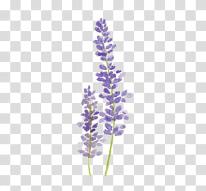 Lavender clipart lavendar. Illustration hvar english oil
