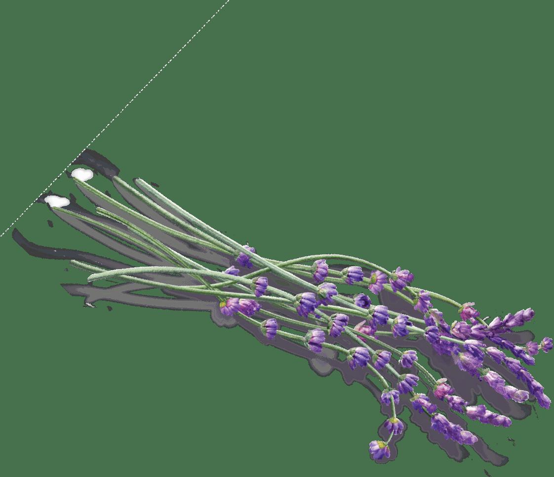 Some transparent png stickpng. Lavender clipart lavender bunch