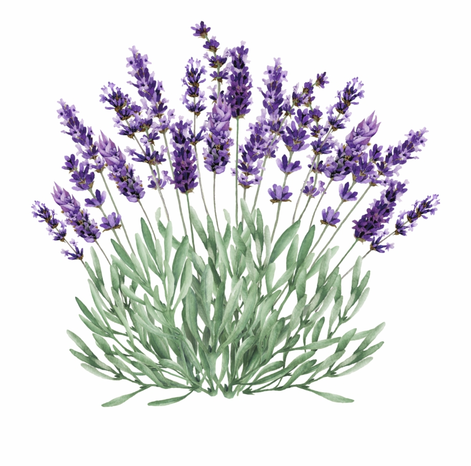 Watercolor painting drawing english. Lavender clipart lavender bush