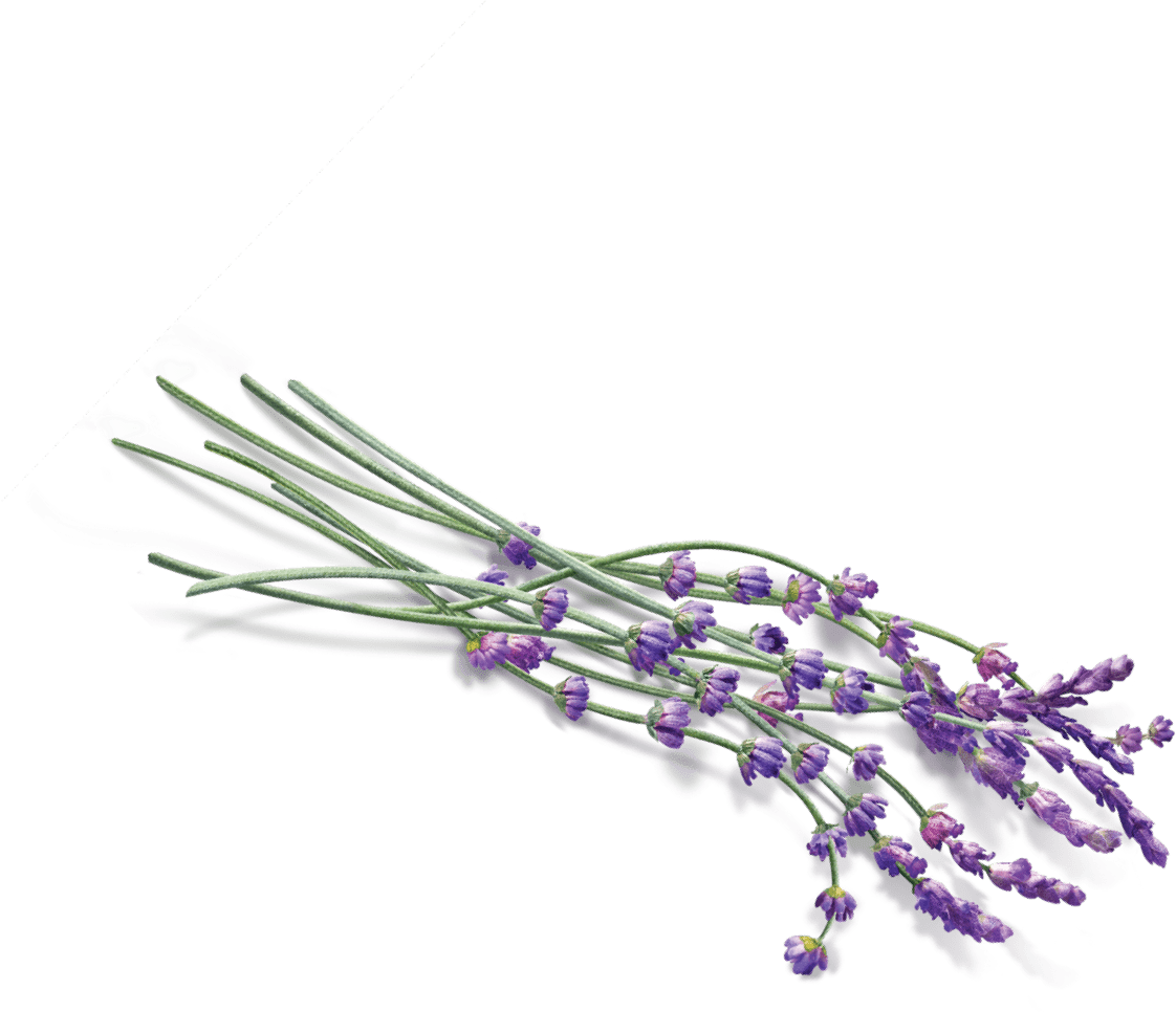 Some pinterest and flowers. Lavender clipart lavender field