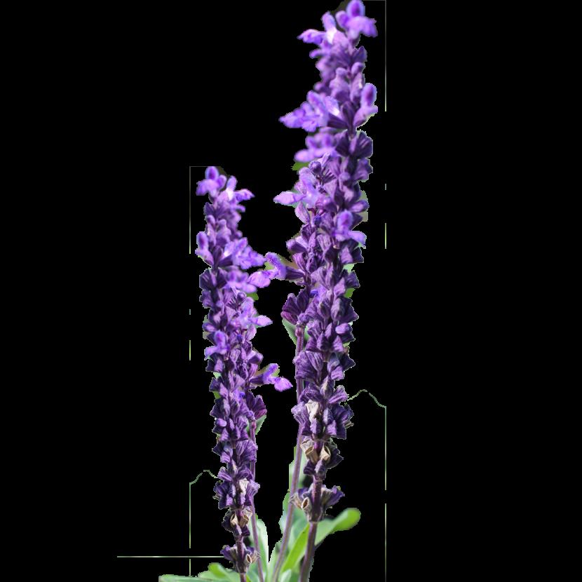 Lavender clipart lavender floral.  collection of transparent