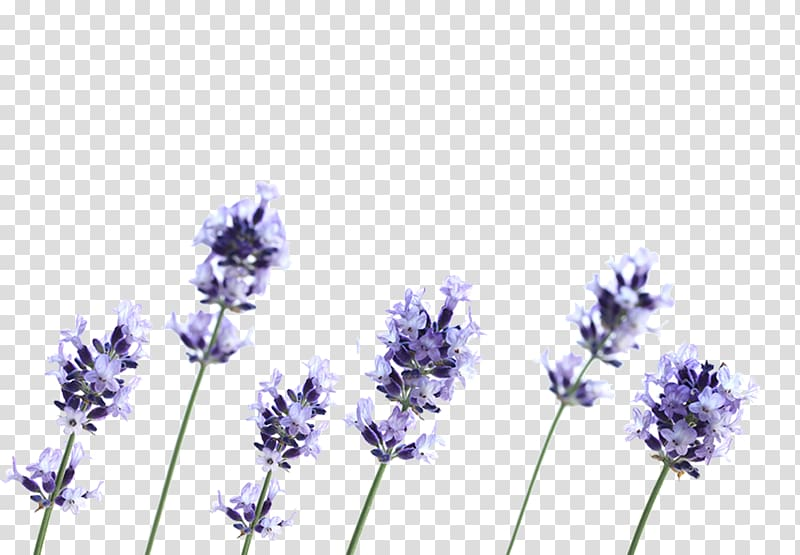 Lavender clipart lavender french. English flower plant petal