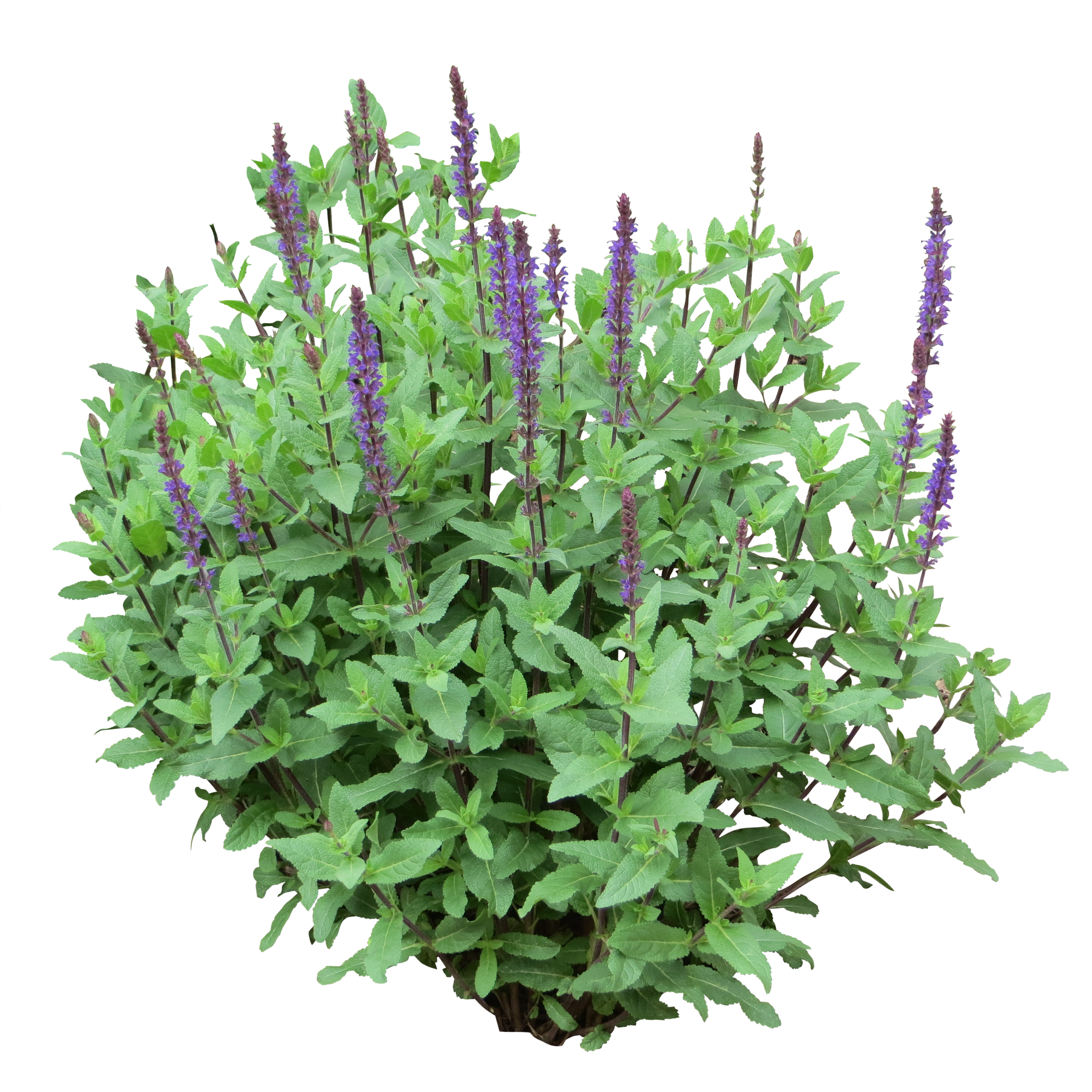 Purple bush ps pinterest. Flower plants png