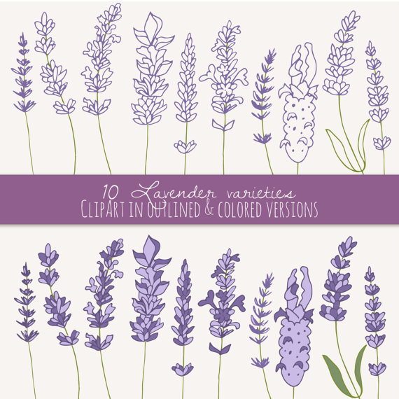 Set clip art herbal. Lavender clipart lavender herb
