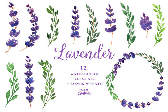 Watercolor flowers purple flower. Lavender clipart lavender herb