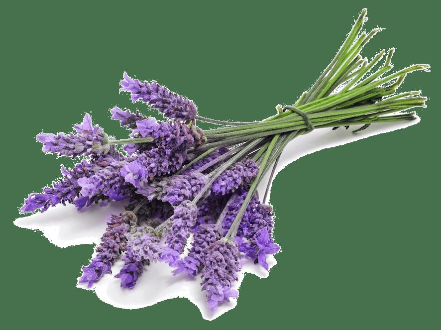 Oil clipart lavender oil. Bunch close up transparent
